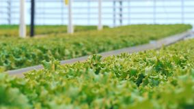 Background view on lettuce seedlings in a greenery is dynamically switching into front view. 4K stock video