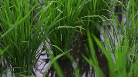 Background view travel nature green field healthy rice in landscape summer video. Business agriculture health farm. Control plant industry in Asia or Japan stock footage