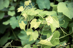Background of vine leaves Stock Images