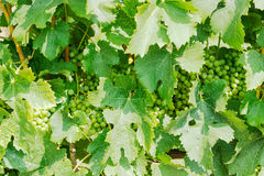 Background of vine with leaves and ripening grapes Royalty Free Stock Images