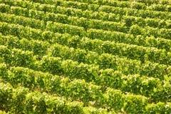 Background of vine stocks Royalty Free Stock Photo