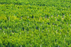 Background of vineyards. Royalty Free Stock Photography