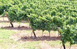 Background of vineyards in the countryside of Western veneto 2 Royalty Free Stock Images