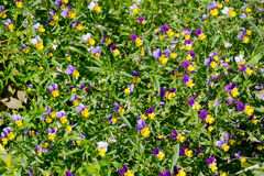 The background of the Viola tricolor, or pansies Royalty Free Stock Image