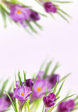 Background from violet crocuses Stock Photography