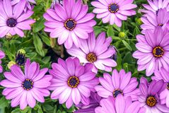 Background of violet daisies Royalty Free Stock Image