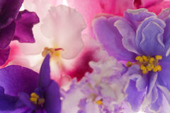 Background with violet flowers Stock Images