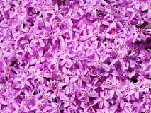 Background of violet flowers. Violet flowers on bright, sunny day Stock Photo