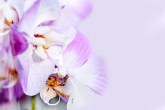 Background of violet Japanese Orchid Stock Photos