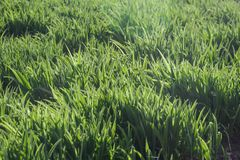 Background of vivid green grass in warm sunlight Royalty Free Stock Images