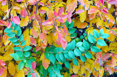 Background of vivid red and green autumn bush leaves Stock Image