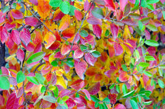 Background of vivid red and green autumn leaves Royalty Free Stock Photo