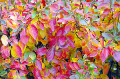Background of vivid red and yellow autumn leaves Stock Photography