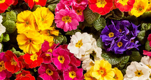 Background of vividly colorful primrose flowers stock image
