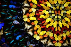 A background wall of many butterflies. The color is very bright and beautiful Stock Photography