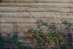 Background. The wall of an old log house. Raspberry bushes Dry twigs and branches with leaves. stock photo
