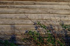 Background. The wall of an old log house. Raspberry bushes Dry twigs and branches with leaves. royalty free stock images