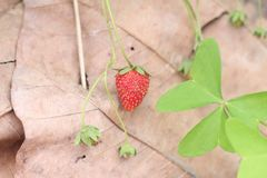 Fruit. Little strawberry from the garden stock photo