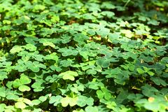 Wood sorrel on the ground in the forest. Background wallpaper of Wood sorrel on the ground in the forest spread like a green carpet Royalty Free Stock Photography