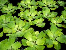 Beautiful background of Water Hyacinth royalty free stock images