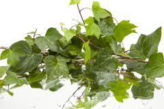 Background of wet ivy leaves on mirror stock photography