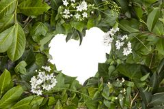 Background of wet ivy leaves and white flowers in heart form stock images