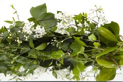 Background of wet ivy leaves and white flowers on mirror royalty free stock photo