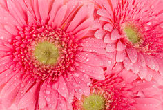 Background from wet pink gerberas Stock Photos