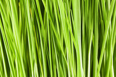 Background of wheat. Densely spaced stems young, beautiful, healthy wheat royalty free stock photo