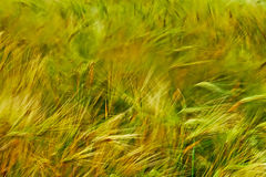 Background with wheat 2 Stock Images