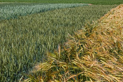 Background with wheat 16 Stock Photography