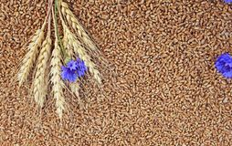 Background of wheat ears with blue flowers cornflowers lie on Golden wheat grains scattered on wooden table. Background of wheat ears with blue cornflowers lie royalty free stock photography