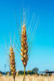 Background with wheat ears 3 Stock Photo