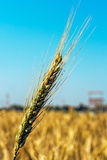 Background with wheat ears 4 Stock Photography
