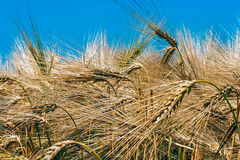Background with wheat 7 Stock Photo