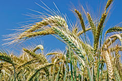Background with wheat 9 Royalty Free Stock Photo