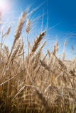 Background of wheat ears and blue sky with lens flare effect Stock Image