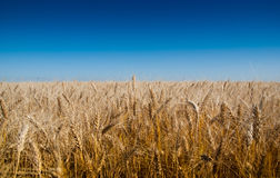 Background of wheat ears and blue sky. Stock Image