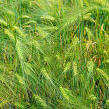 background of wheat ears Stock Image