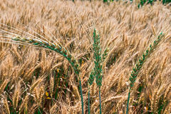 Background with wheat 11 Stock Image