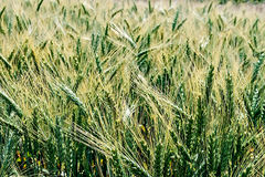 Background with wheat ears 2 Royalty Free Stock Image