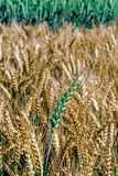 Background with wheat ears Royalty Free Stock Photos