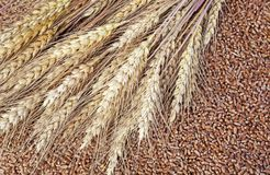 Background of wheat ears lie on Golden wheat grains scattered on wooden table. Background of ears lie on Golden wheat grains scattered on wooden table royalty free stock photos