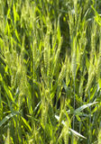 Background of wheat in field Stock Images