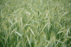 Background of wheat field. Texture Stock Image