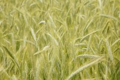 Background of wheat field. Background of autumn wheat field Royalty Free Stock Photography