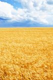 Background of wheat field with ripening golden ears stock photo