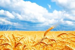 Background of wheat field with ripening golden ears royalty free stock images