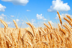 Background of wheat field with ripening golden ears Royalty Free Stock Image