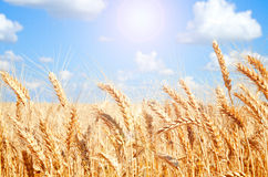 Background of wheat field with ripening golden ears Royalty Free Stock Photography